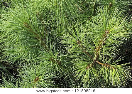 Pines are conifer trees