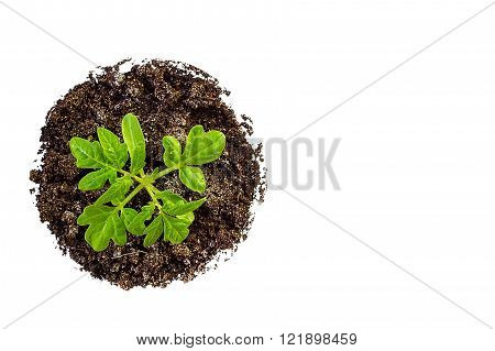 Tomato seedlings on white background. Copy space
