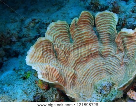 The surprising underwater world of the Bali basin, Island Bali, Pemuteran. Stone coral