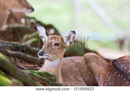 Herd Of Fallow Deer resting on the grass