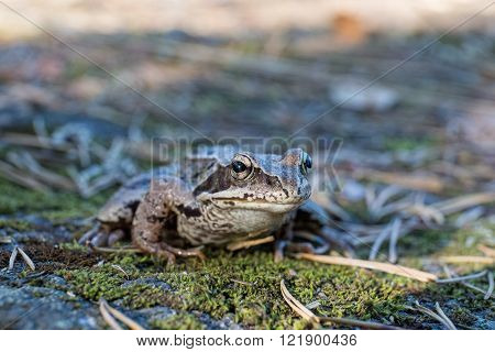 Toad in the coniferous forest close up