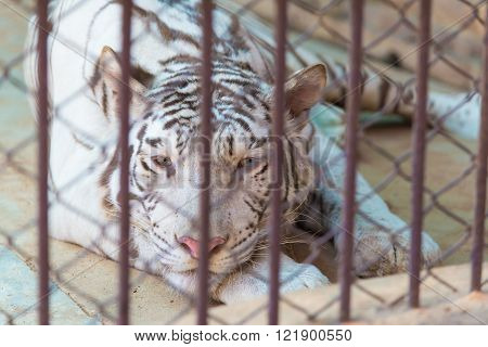 Tiger in cage of the zoo, big cat tiger, Concept: protection of animals.