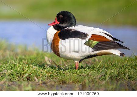 Resting Common Shelduck In A Wetland