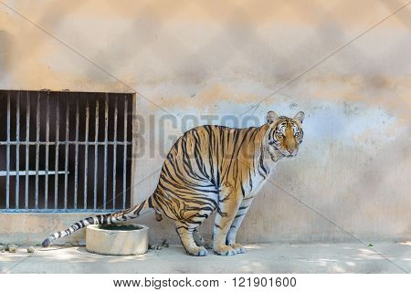 Tiger Defecating In Cage Of The Zoo