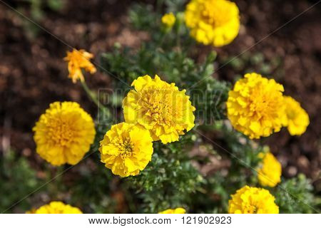 Yellow marigold flower in the garden.Yellow Marigold flower