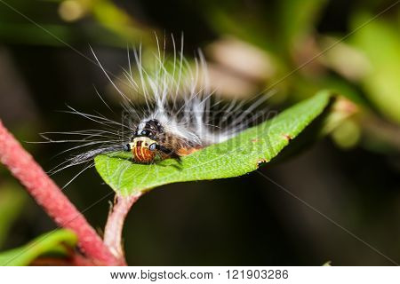 Caterpillar Of Lappet Moth , Lasiocampoidea