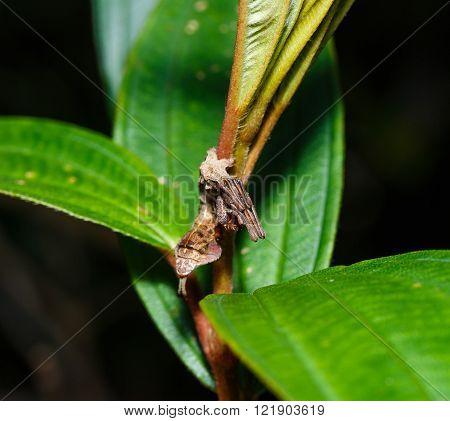 Caterpillar of silk moth bombycidae hanging on host plant