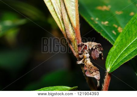 Caterpillar Of Silk Moth Bombycidae