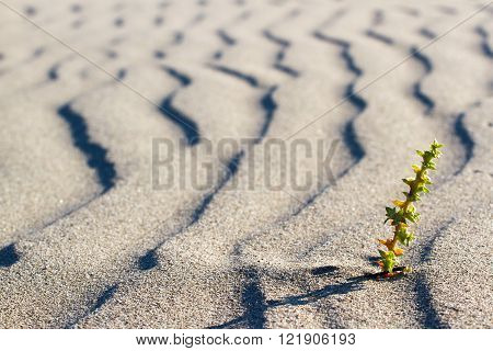 Green plant sprouting in the desert in Sahara. Sprout in the desert.