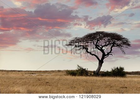 Large Acacia Tree In The Open Savanna Plains Africa