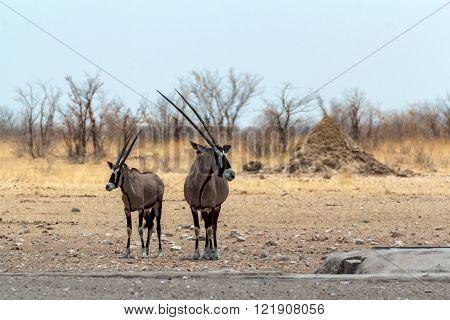 Gemsbok, Oryx Gazella On Waterhole
