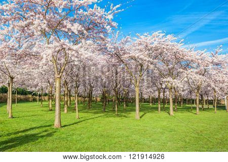 Cherry trees park in blossom