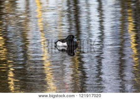 A tufted duck is swimming on a pond on the water ** Note: Soft Focus at 100%, best at smaller sizes