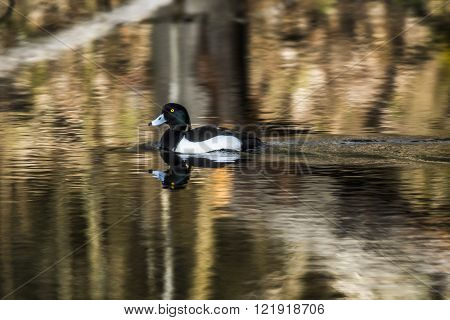 A tufted duck is swimming on the water