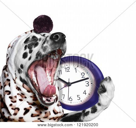 dog yawns and going to sleep -- isolated on white background