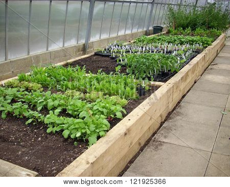 Raised beds in a greenhouse with wooden surrounds and paving slabs. Growing a range of vegetables and salads.
