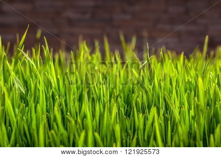 Green Wheat grass with space for text