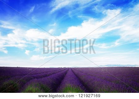Lavender field under blue sky