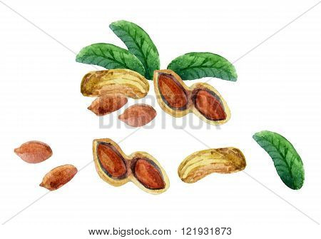 Watercolor set of peanut isolated on white background. Hand painted illustration