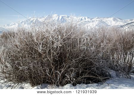 Bushes Frosted In A Snowy Winter Mountain Landscape