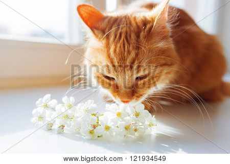 Ginger cat smells a bouquet of cherry flowers. Cozy spring morning at home. Cute background with place for text. Soft focus.