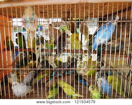 Lovebirds of Budgerigar or Parrot birds in the cage