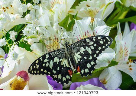 Butterfly Papilio demoleus on the flowers