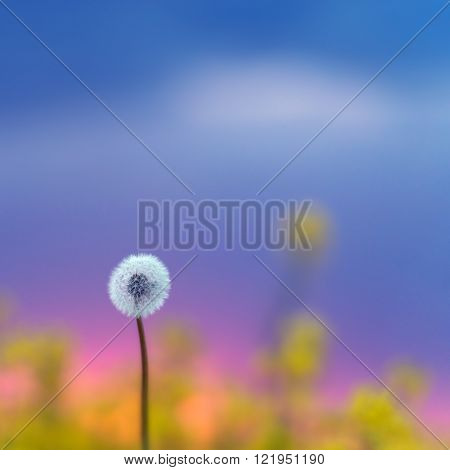 single dandelion on rape background