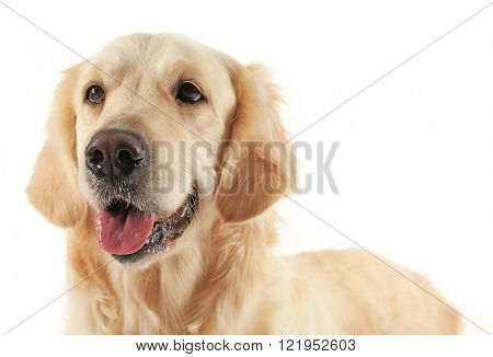 Muzzle of golden retriever, isolated on white