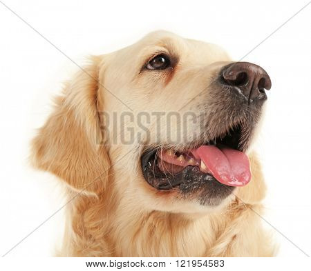 Grin of golden retriever, isolated on white