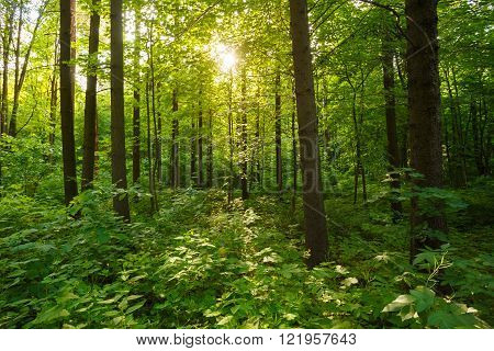 Spring Summer Sun Shining Through Canopy Of Tall Green Trees Woo