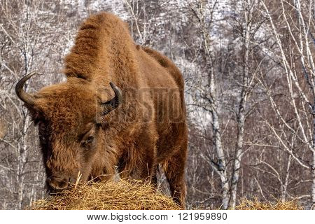 Mammal wild animal bison closeup chews hay on the background of birch trees in winter sunny day
