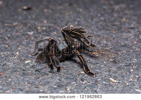 Close up of Thai zebra taruntula (Haplopelma albostriatum) on the ground, flash fired