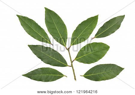 Bay leaves images stock photos illustrations bigstock - Cook bay leaves ...