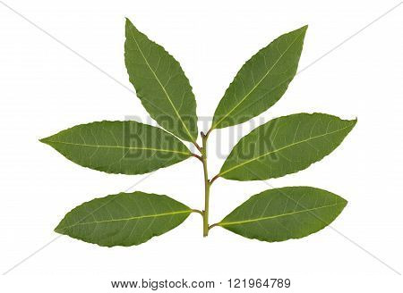 Whole fresh picked Bay or Bay Laurel leaves used in cooking to flavor dishes.
