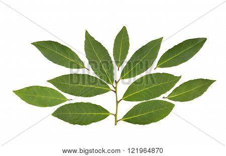 Whole fresh Bay or Bay Laurel leaves used in cooking to flavor dishes.