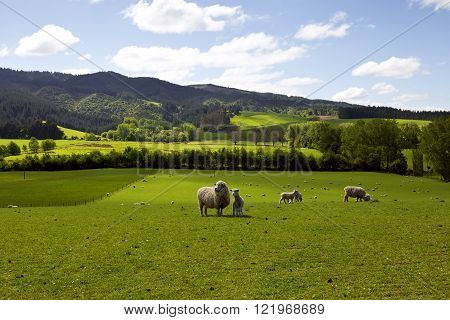 Sheep grasping the greens. The freshness is guaranteed.