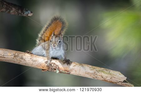 Fiery orange Springtime Red squirrel on a branch.  Quick little woodland creature pauses only for a second, running around in trees in a Northern Ontario woods.