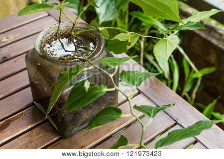 Potted Vase Stores Stagnant Water And Breeding Ground For Mosquito