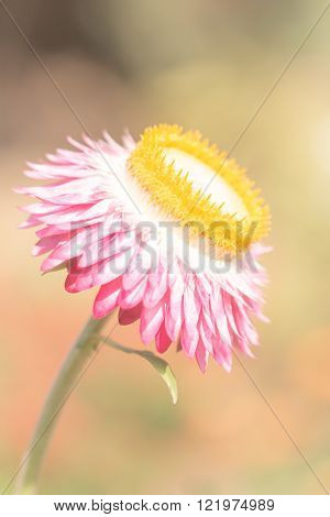 Beautiful flower Strawflower ( Everlasting ) with soft filter
