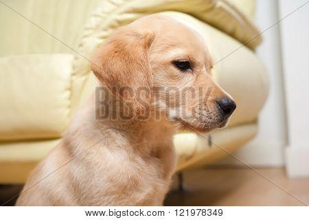 Labrador retriever puppy