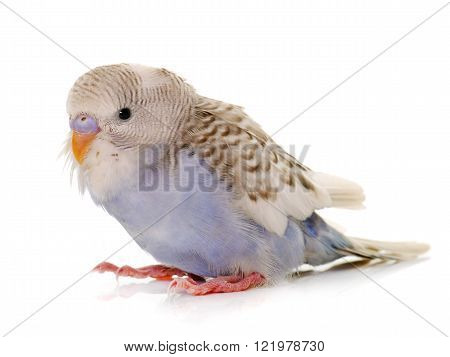 young budgerigar in front of white background ** Note: Soft Focus at 100%, best at smaller sizes