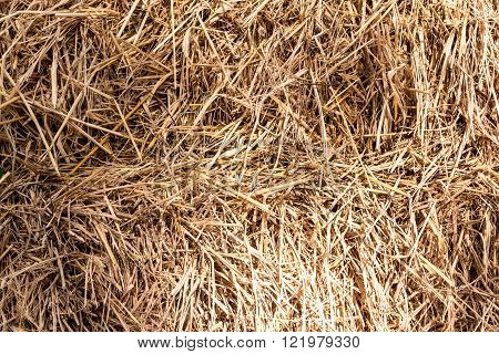 Closeup of the chaff  in the paddy background