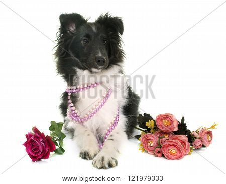 puppy shetland sheepdog in front of white background