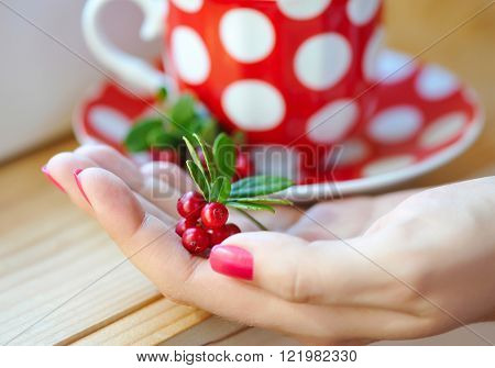 Cowberry (Vaccinium vitis idaea) in woman hands ** Note: Shallow depth of field