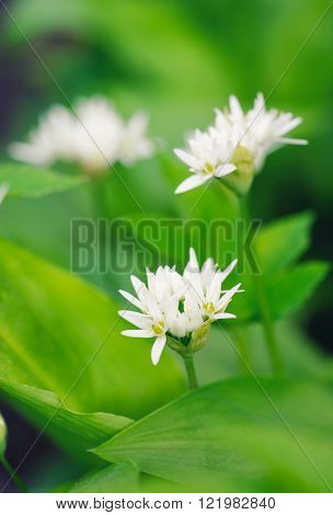 Wild Garlic Flowers At Springtime (allium Ursinum), Edible Culinary Herb