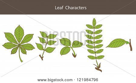 Leaf Character. Set Of Different Type Leaves. Biology Style. Vector Illustrations. Leaf Character Symbol. Maple Leaf Character. Leaf Character Guide. Leaf Character Custom. Character Creation.