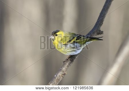 little bird yellow Siskin on a branch in the Park