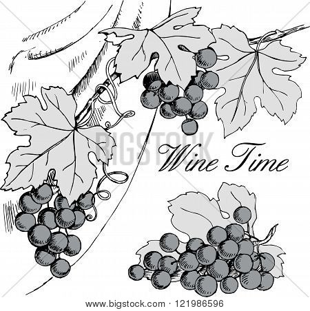 Vector hand drawn black and white illustration of grape branches with bunches of grapes and leaves. Good for wine list winery or wine shop banner or wine label design element.
