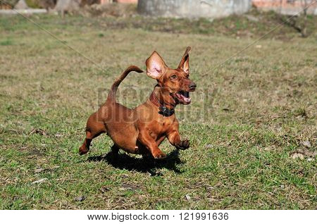 Dog running on the grass, the dog plays. Smooth-haired dachshund dog standard, color red, female.